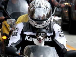 A motorcyclist with pooch riding on the gas tank cruise down Main Street in Daytona Beach as Biketoberfest 2011 got off to a roaring start Thursday October 14, 2011. (photo Jim tiller )